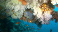 Stock Video Footage of amazing soft coral reef