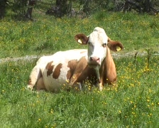 Chewing cow Stock Footage
