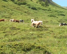 Horses in the Alps Stock Footage