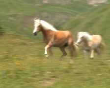 Horses in the Alps - stock footage