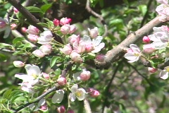 Spring apple blossoms Stock Footage