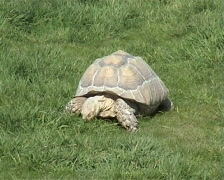 Stock Video Footage of Giant Tortoise