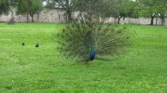 Peacock front showing feathers HD Stock Footage