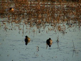 American Coots Stock Footage