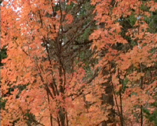 Fall Colors 14 - PAL Stock Footage
