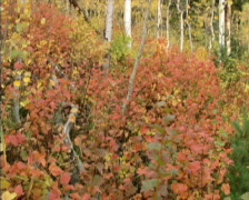 Fall Colors 15 - PAL - stock footage