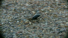 Quick Crawling Black Bug - stock footage