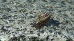 Shell (Marisa comuarietis) on a stone one Stock Footage