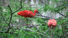 Scarlet ibis in tree HD Stock Footage