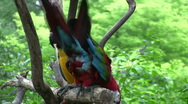 Parrots two in tree HD Stock Footage