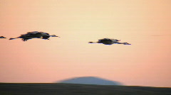 Sandhill Cranes Flying Stock Footage