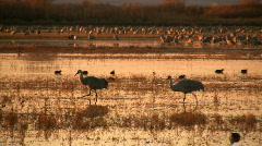 Sandhill Cranes at Sunrise Stock Footage