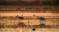 Stock Video Footage of Sandhill Cranes at Sunrise