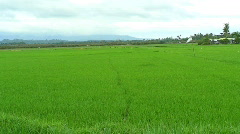 Rice paddy with ripening rice on Mindoro island in Philippines Stock Footage