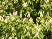 Stock Video Footage of Chestnut tree blooming
