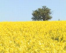 Field of rape seed with single apple tree. Stock Footage