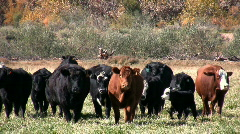 Til the Cows Come Home Stock Footage