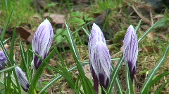 White-violet crocus (crocus vernus) Stock Footage
