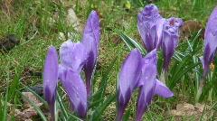 Violet crocus (crocus vernus) Stock Footage