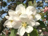 Stock Video Footage of Apple blossom
