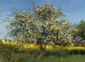 Field of rape seed with single apple tree. Footage