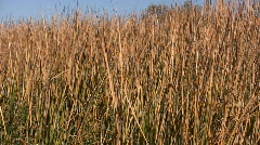 Marsh Grass Background Stock Footage
