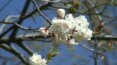 Blossoms of Canada plum (Prunus nigra) Stock Footage