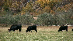 Grazing Cattle Stock Footage