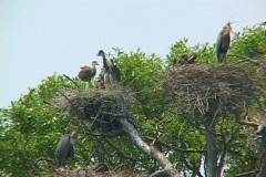 Blue Heron Rookery 05 Stock Footage