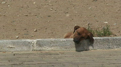 Dog sleeping in the midday sun. HD 1080i Stock Footage