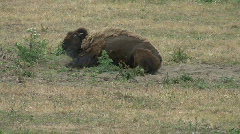 Buffalo Playing and Rolling in Grass - stock footage