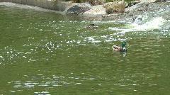 Ducks play near waterfall - stock footage