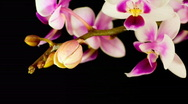 Phalaenopsis equestris - orchid time lapse Stock Footage