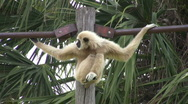 Gibbon White Handed on pole HD Stock Footage
