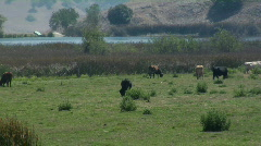 Cattle 4 Stock Footage