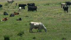 Stock Video Footage of Cattle 3