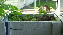 Feeding young sparrow one Stock Footage