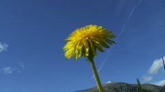 Dandelion in the wind  (Taraxacum sect. Ruderalia) Stock Footage