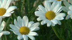 Anthemis cotula (Stinking Chamomile) two Stock Footage
