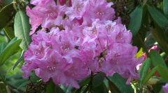 Rhododendron (Ericaceae family) blooming three Stock Footage