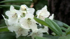 Rhododendron (Ericaceae family) blooming ten - stock footage