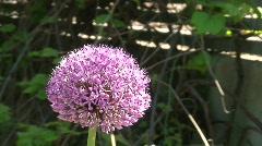 Allium Gladiator (alliaceae) one  Stock Footage