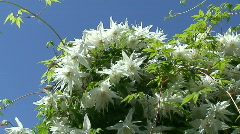 Clematis (Albina Plena) two Stock Footage