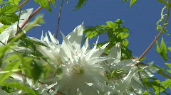 Clematis (Albina Plena) one Stock Footage