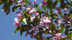 Malus Purpurea blooming two Stock Footage