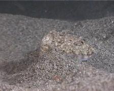 "A Cuttlefish (""Sepia Officinalis"") Stock Footage"