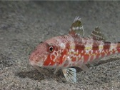 Stock Video Footage of Mullus fish 23