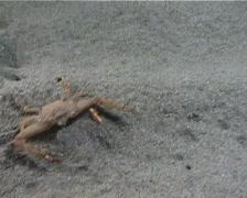 Crab concealment  25– PAL Stock Footage