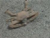 Crab concealment  26– PAL Stock Footage