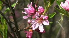 Prunus tenella (Dwarf Russian Almond) Stock Footage